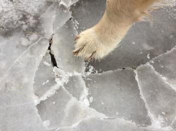 Dog paw on ice