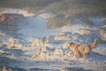 Dog running in the sand