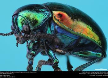 Dogbane Beetle (Chrysomelidae, Chrysochus auratus (Fabricius))