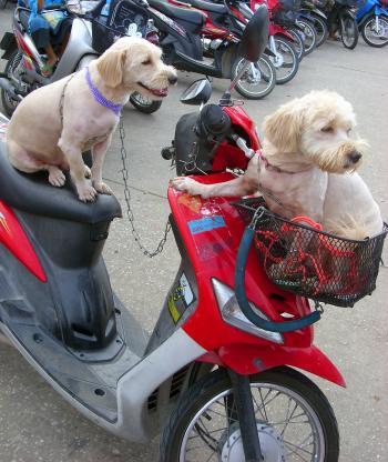 Dogs on a motorbike