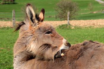 Donkeys in the Farm