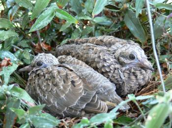 Dove chicks in the nest