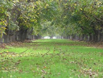 Down the Walnut Grove of Green