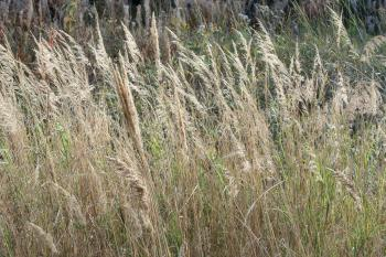 Dried autumn reed