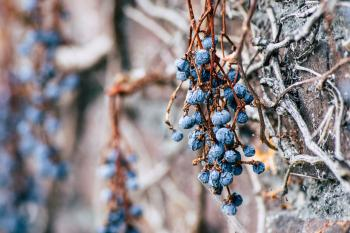 Dry blue berries on a branch of a tree without leaves