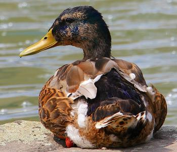 Duck on the Shore