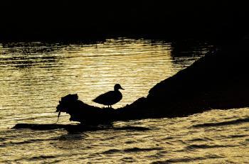 Duck on Trunk Near Ocean