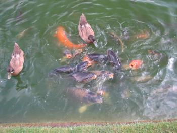 Ducks competing with fish