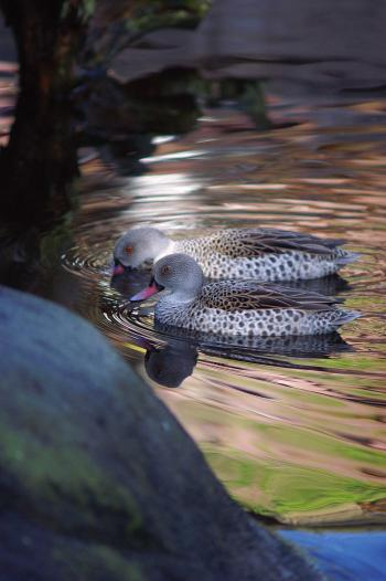 Ducks - Evening Swim