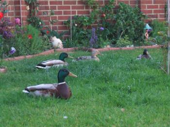 ducks in a garden
