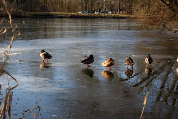 Ducks on a frozen pond