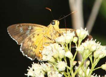 DULL FIRETIP (Apyrrothrix araxes) (8-18-2014) harshaw rd, patagonia mts, scc, az -04