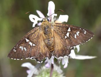 DULL FIRETIP (Apyrrothrix araxesi) (9-7-12) harshaw road, patagonia mts, scc, az -01