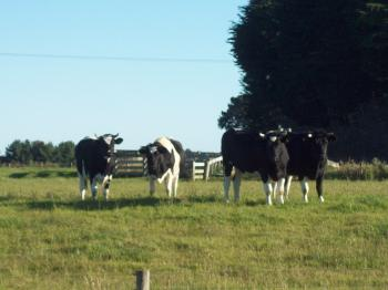 Dunedin cows