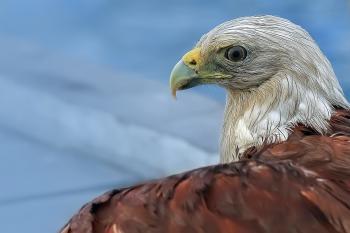 Eagle Aim