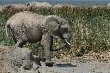 Elephant Walks on Puddle