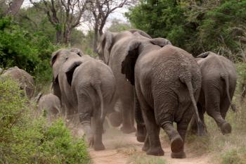 Elephants on the Run