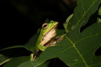 Emerald Eyed Tree Frog