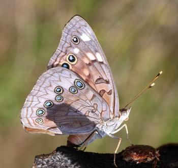 EMPEROR, HACKBERRY (Asterocampa celtis) (9-26-12)(78 circulo montana, patagonia lake ranch estates, scc, az -01