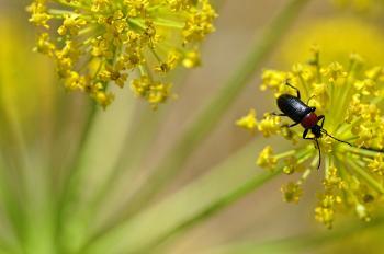 Escarabajo Toro del Sol