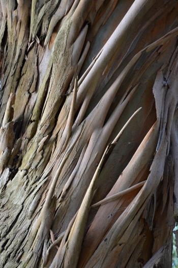 Eucalyptus perriniana bark