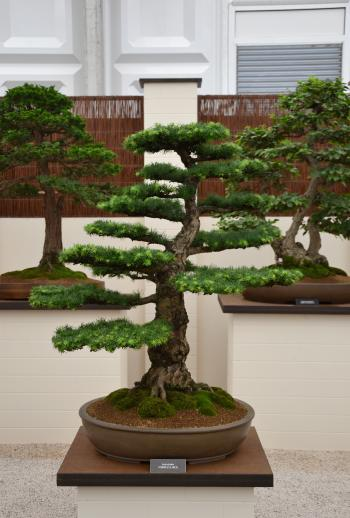 European larch bonsai