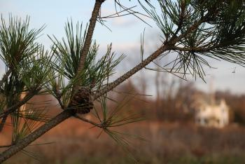 Evergreen branch with pinecone
