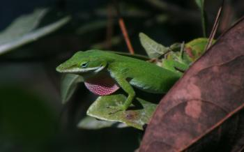 Excited anole