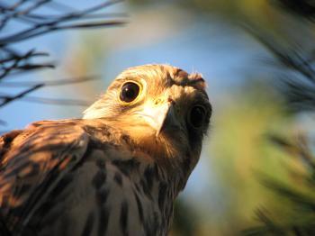 Falcon Staring