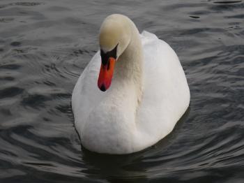 Familia del cisne Carolasee (Lago Carola)
