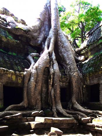 Famous giant spung tree roots enveloping