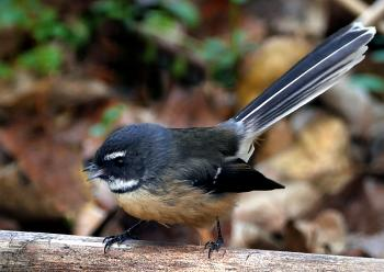 Fantail. (Rhipidura fuliginosa)