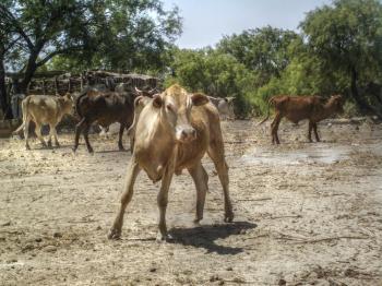 Farm Calf