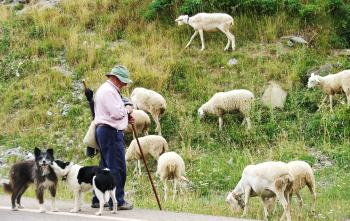 Farmer with sheep and dogs