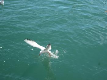 Feeding a seagull