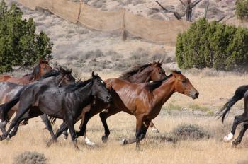 Feral Horses