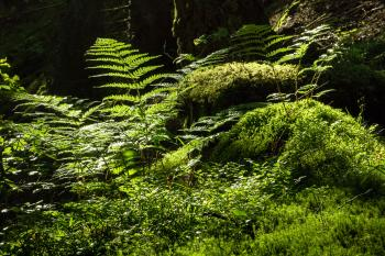 Ferns and mosses in Gullmarsskogen ravine