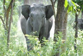 Ferocious Indian Elephant