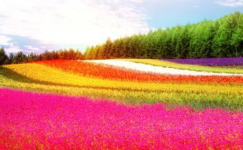 Field - Colorful Flowers - Summer