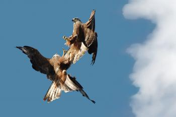 Fighting kites