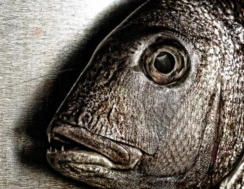 Fish face - Closeup of a snapper