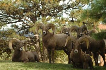 Five Ram Goats Beside Green Trees