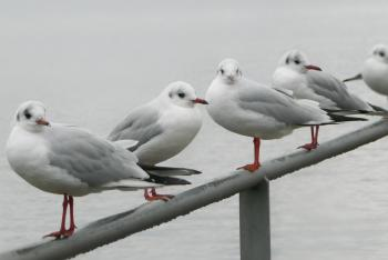 Five Seagulls