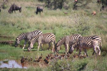 Five Zebra in Pond Near Brown-and-black Birds Soundring by Green Grass