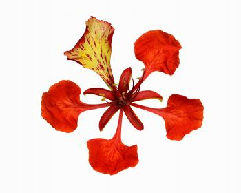 Flamboyant tree flower