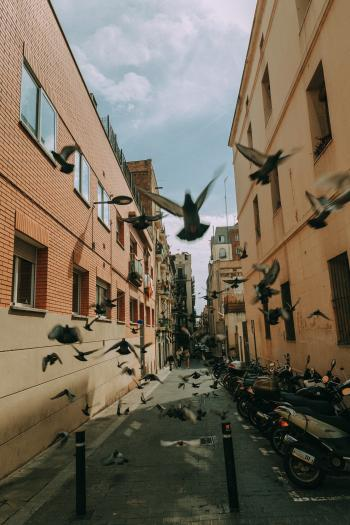 Flock of Pigeon