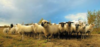 Flock of Sheep in Field Under Blue Sky