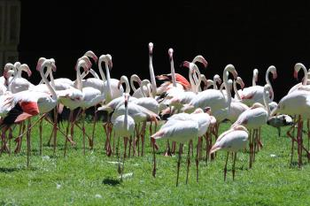 Flock of White Flamingoes