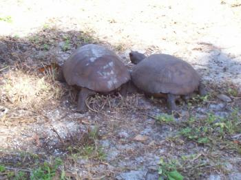 Florida endangered gopher tortoise