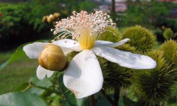Flower of the Annatto Tree